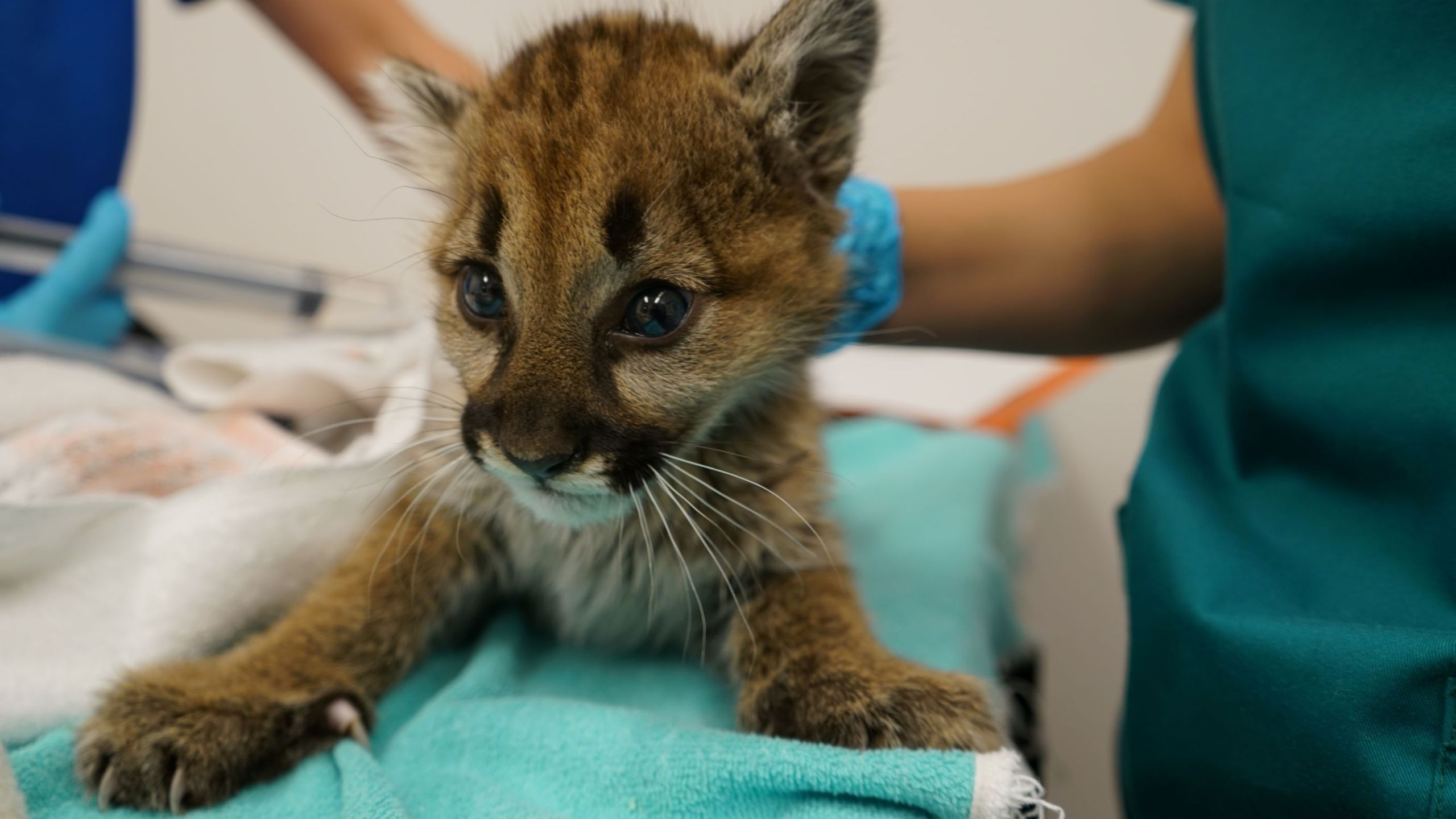 Oakland Zoo released this photo on Dec. 9 2019 of a mountain lion cub recovering at its facilities.