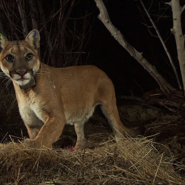 P-35, a mountain lion linked to two dog attacks -- one fatal -- in Simi Valley is seen in an undated photo from the National Park Service.