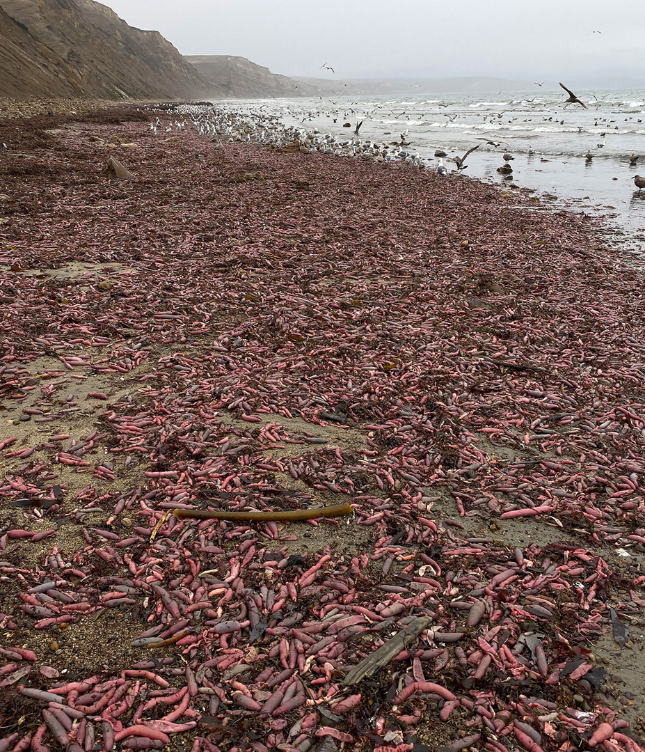 A horde of large, fat worms descended upon a central California beach, spooked out of their burrows by a bomb cyclone in late November. (Credit: David Ford)