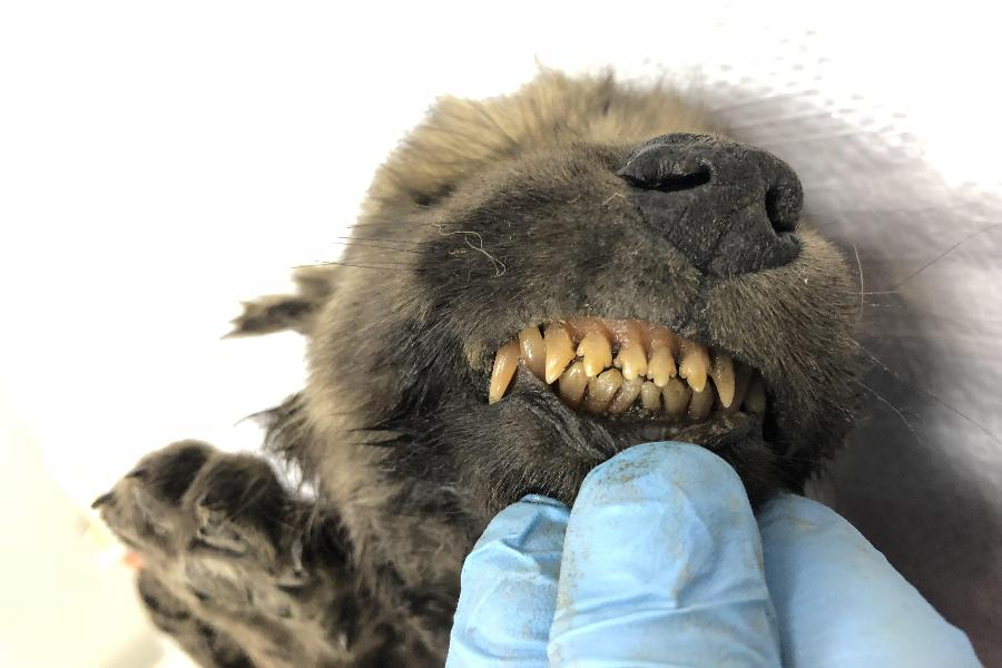 A handout photo taken on Sept. 24, 2018 shows a puppy, found in permafrost in Russia's Far East, on display at the Yakutsk's Mammoth Museum, Russia.