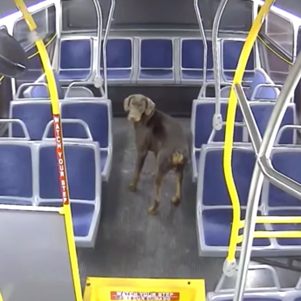 A dog rescued by a Milwaukee County Transit System bus driver rides the bus she was driving in December 2019. (Credit: WISN via CNN)