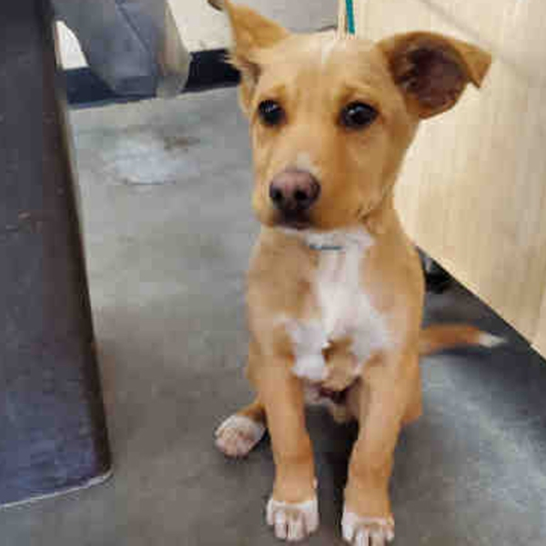 A puppy that was rescued in Ventura after being beaten on Dec. 24, 2019, is seen in a photo provided by the Ventura Police Department.