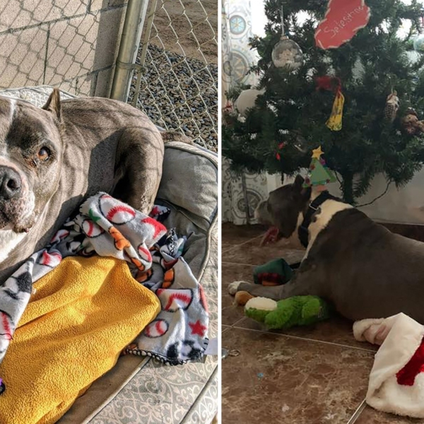 Seamus the pit bull is seen at the shelter and at his new home after he was adopted in Fresno on Dec. 21, 2019. (Credit: Fresno Bully Rescue)
