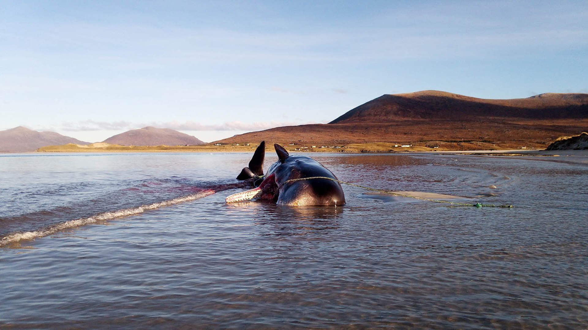 The young male sperm whale became stranded on the Isle of Harris in Scotland's Outer Hebrides. (Credit: Dan Parry)
