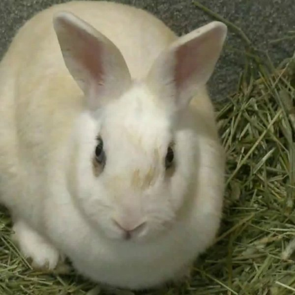 One of over 300 rabbits up for adoption in Tustin is seen on Jan. 16, 2020. (Credit: KTLA)