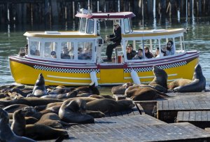 A tour boat offers passengers a close-up look at California sea lions on the docks at Pier 39. After teetering on extinction, the species has made one of the most impressive recoveries of all marine mammals.(Credit: Mel Melcon / Los Angeles Times)
