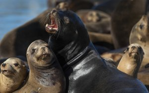 Male California sea lions gather close together on the docks at Pier 39 in San Francisco. Each winter since 1990, an ever-growing band of the sea lions has converged on the docks there. (Credit: Mel Melcon / Los Angeles Times)