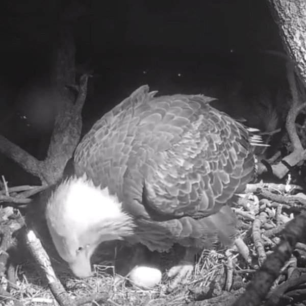 """""""Jackie,"""" a bald eagle nesting at Big Bear, tends to her first egg of the 2020 season just minutes after laying it on Jan. 8, 2019. (Credit: Friends of Big Bear Valley)"""