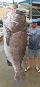 A 350-pound Warsaw grouper was caught off southwest Florida. (Credit: FWC Fish and Wildlife Research Institute)