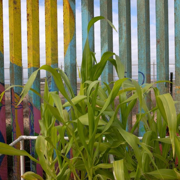 Corn grows in a garden next to the United States-Mexico border fence on Sept. 28, 2019, in Tijuana, Mexico. (Credit: John Moore/Getty Images)