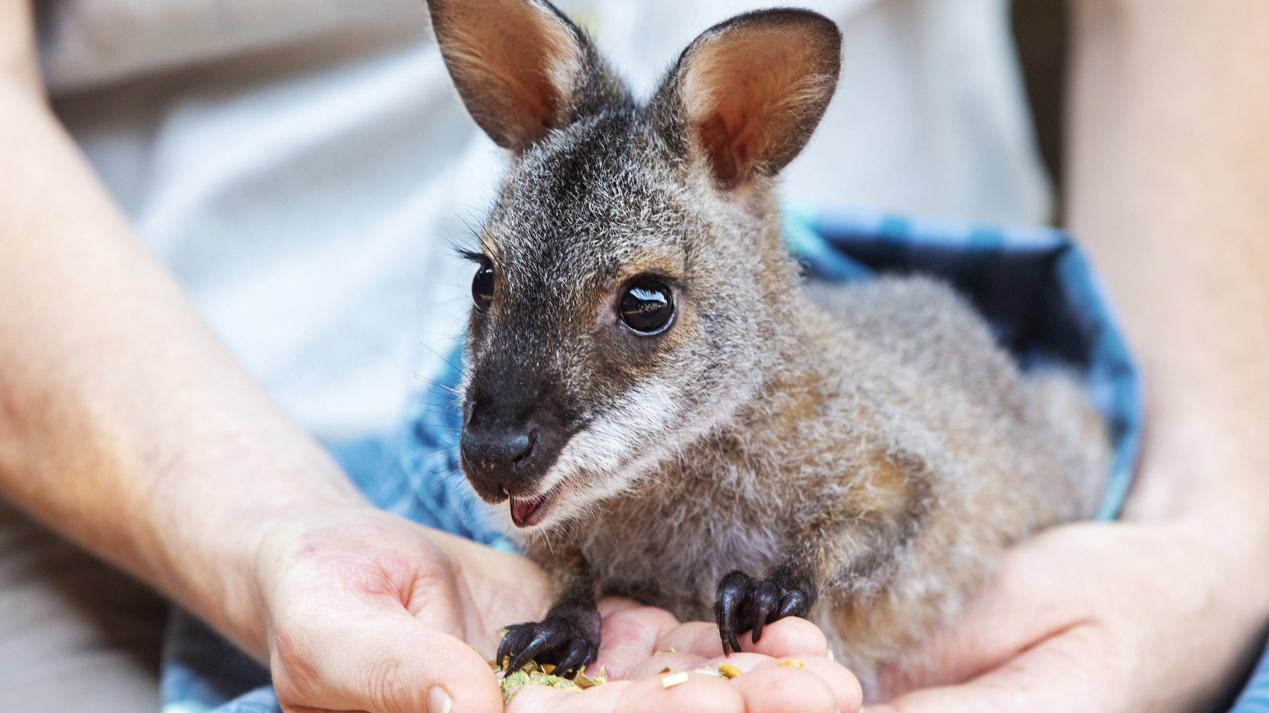 A red-necked wallaby joey is seen during a tour of the Taronga Zoo's Wildlife Hospital in Sydney, Australia, on Jan. 14, 2020. (Credit: Jenny Evans / Getty Images)
