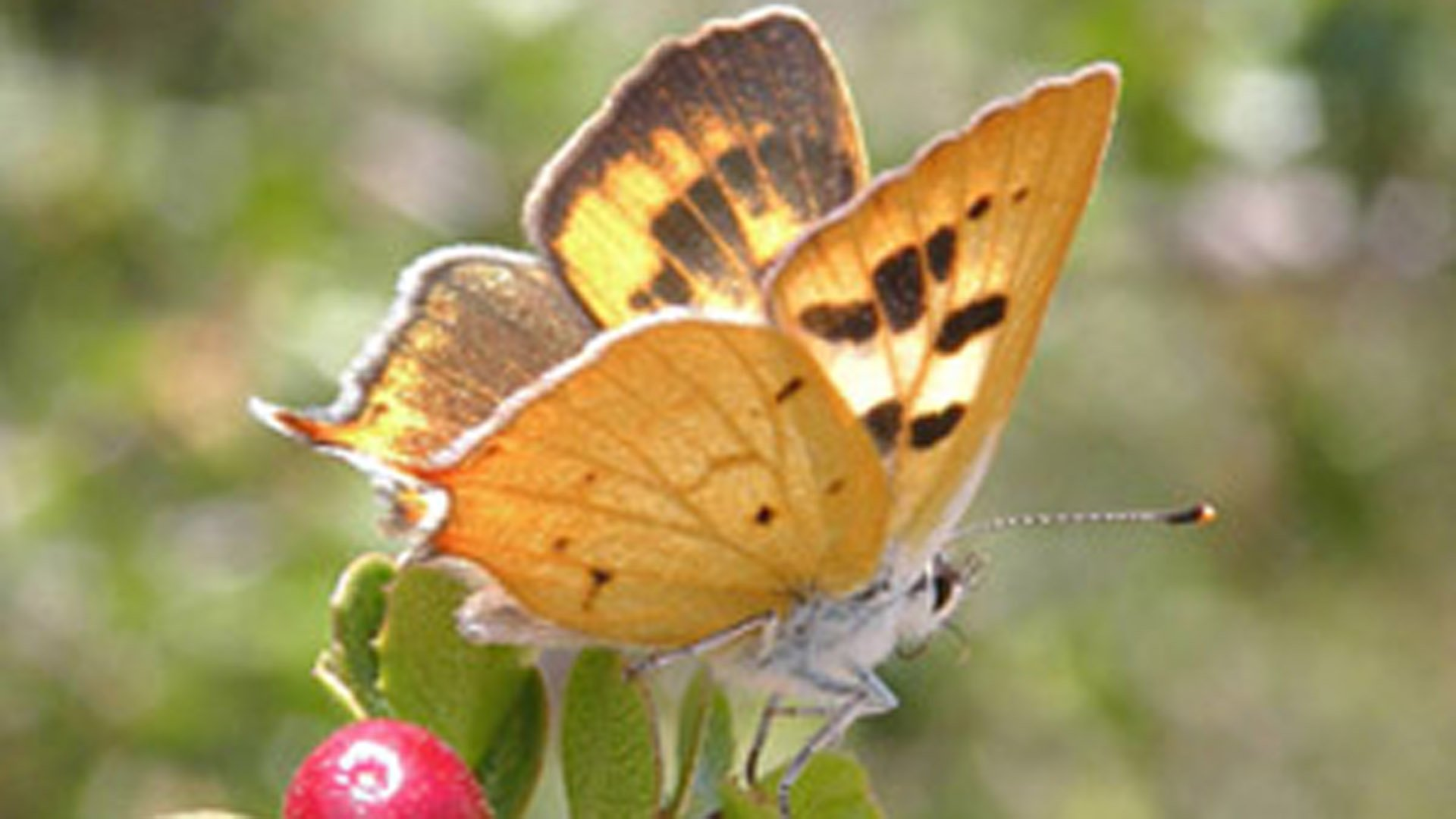 The Hermes copper butterfly is seen in a photo provided by the U.S. Fish and Wildlife Service.