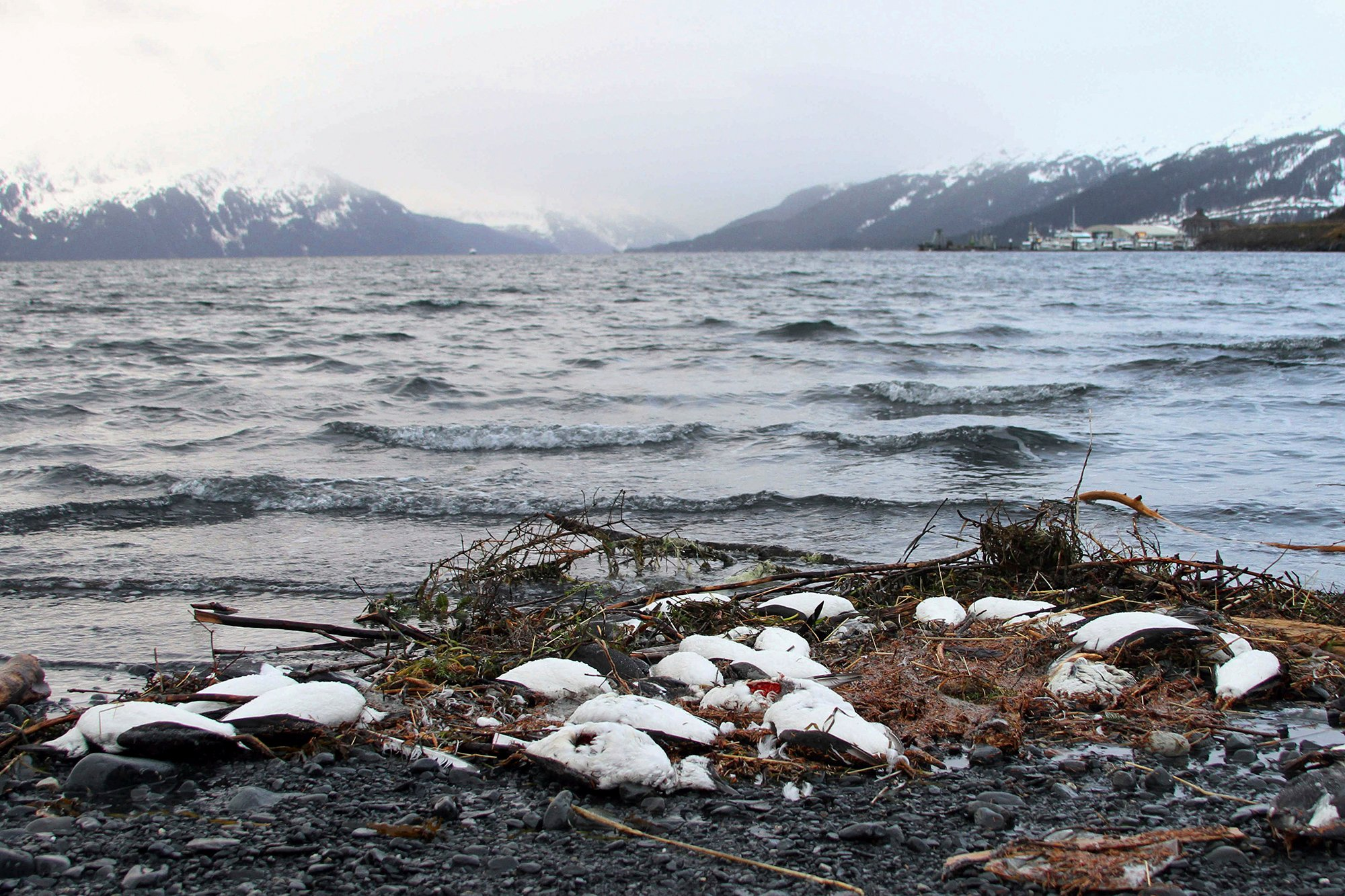 In this file photo from Jan. 7, 2016. dead common murres lie washed up on a rocky beach in Whittier, Alaska. (AP Photo/Mark Thiessen)