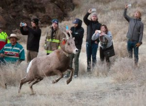 In this Jan. 13, 2019 photo, the Nevada Department of Wildlife and Pyramid Lake Paiute Tribe released a group of bighorn sheep into the Pyramid Lake Range in western Nevada. (Credit: Colton Lochhead/Las Vegas Review-Journal via AP via CNN)