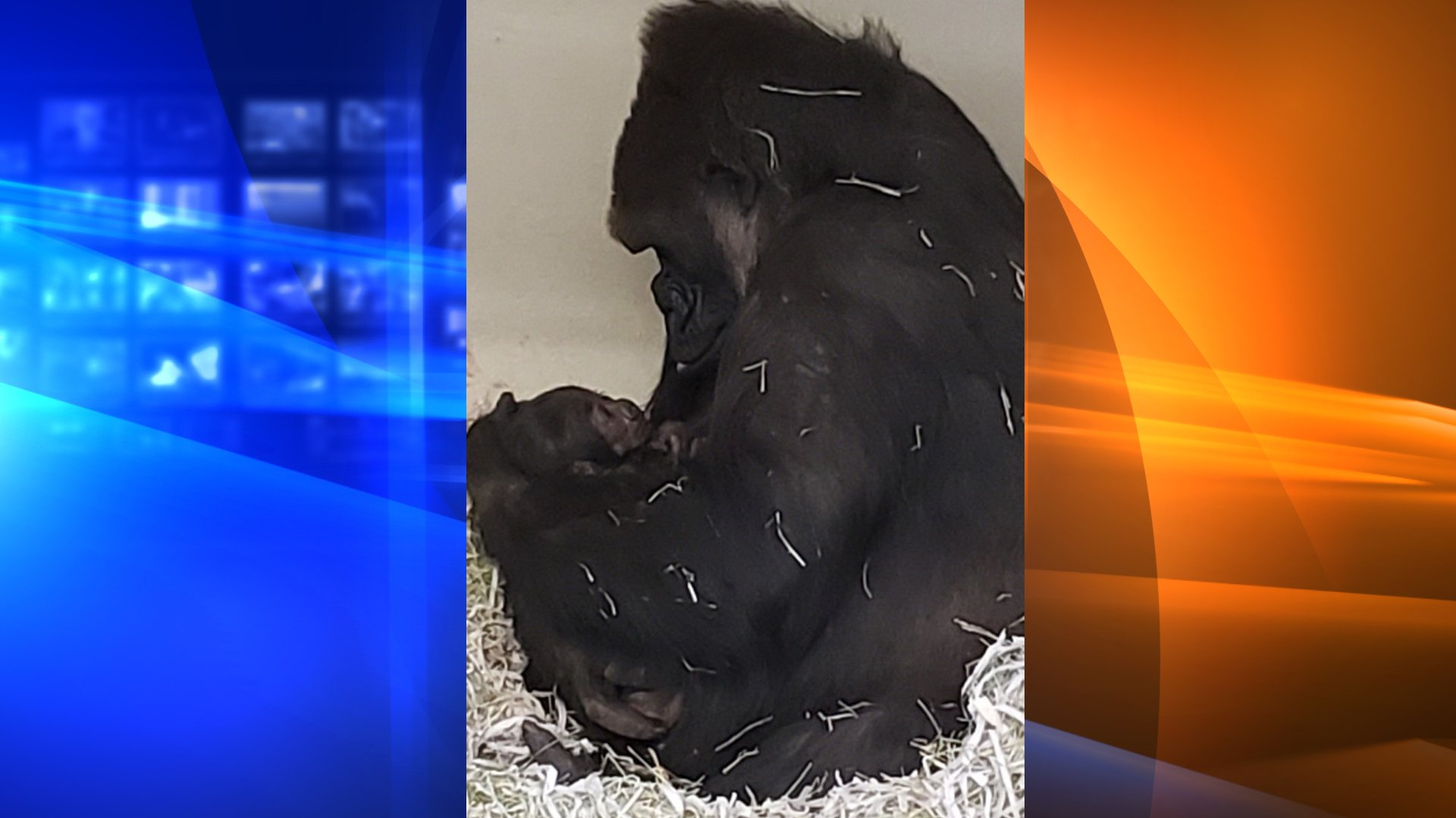 N'djia and her new baby bond in a photo released by the L.A. Zoo on Jan. 19, 2020.