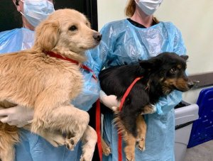 Two of 21 malnourished dogs rescued from an Ontario home is seen in a photo released Feb. 5, 2020, by the Inland Valley Humane Society.