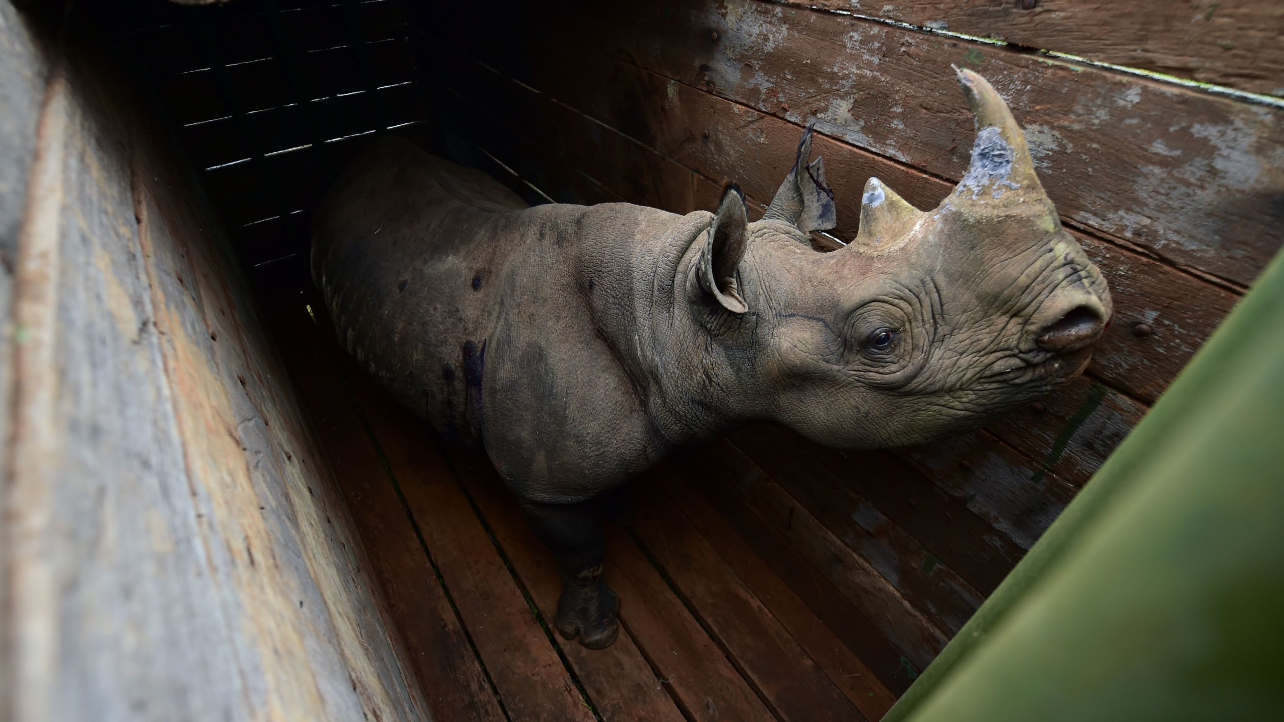 A female black rhinoceros one of three individuals about to the translocated, stands in a transport crate, in Nairobi National Park, on June 26, 2018. (Tony Karumba / AFP/Getty Images)