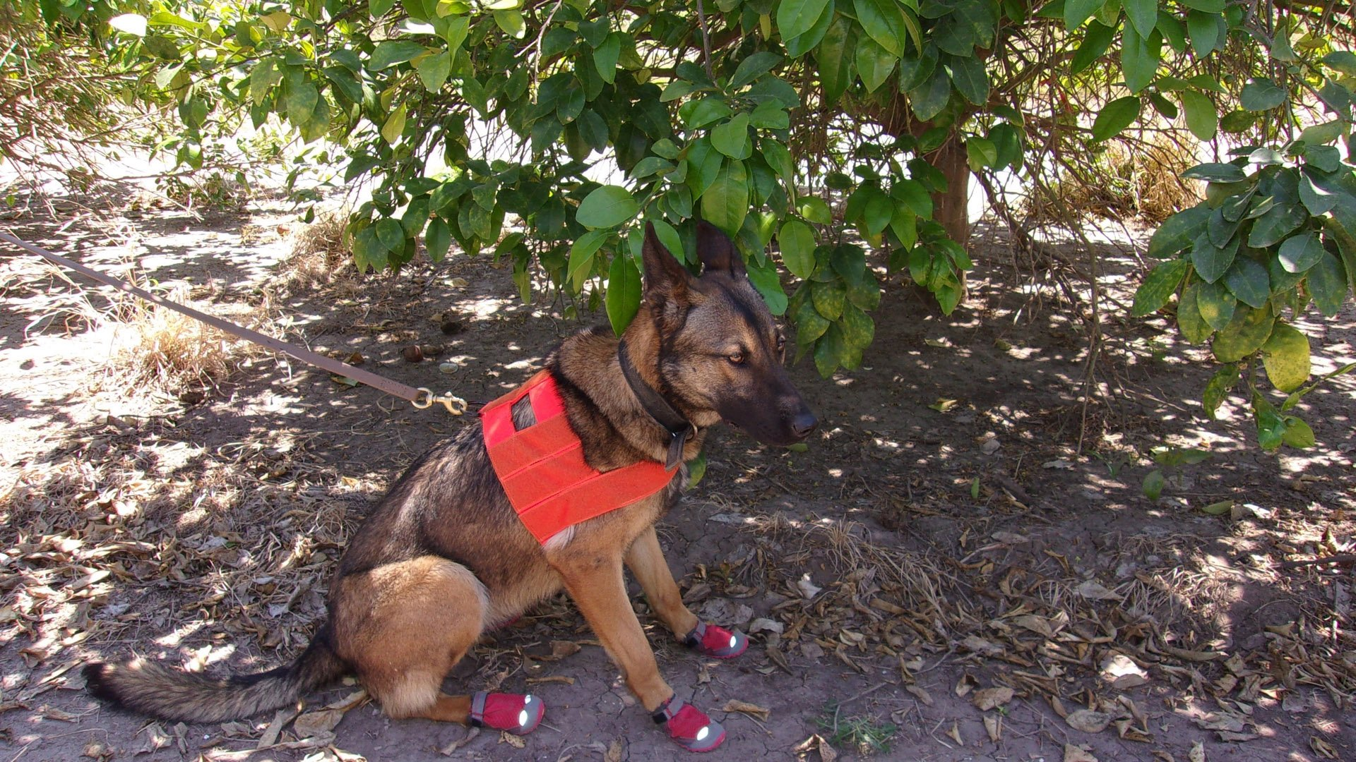 Dog detective Maci spots an infected citrus tree at an orchard. (Credit: USDA)