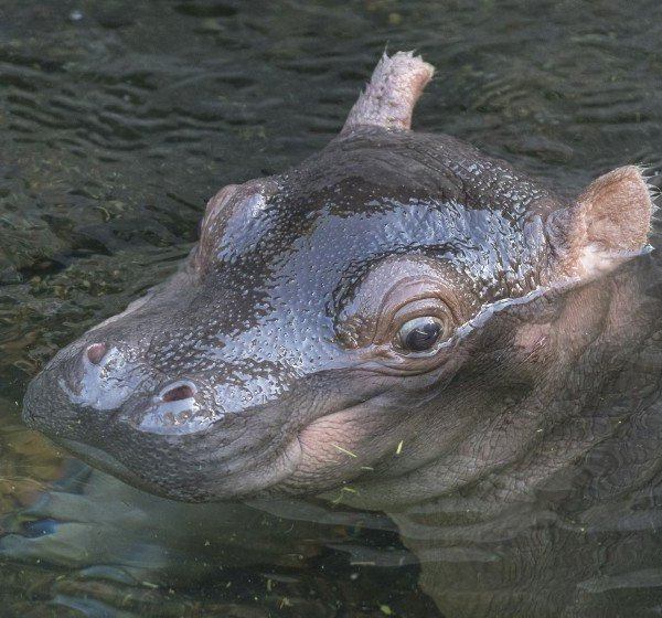The San Diego Zoo's new female hippo calf, yet unnamed, is seen in a photo released by the zoo.