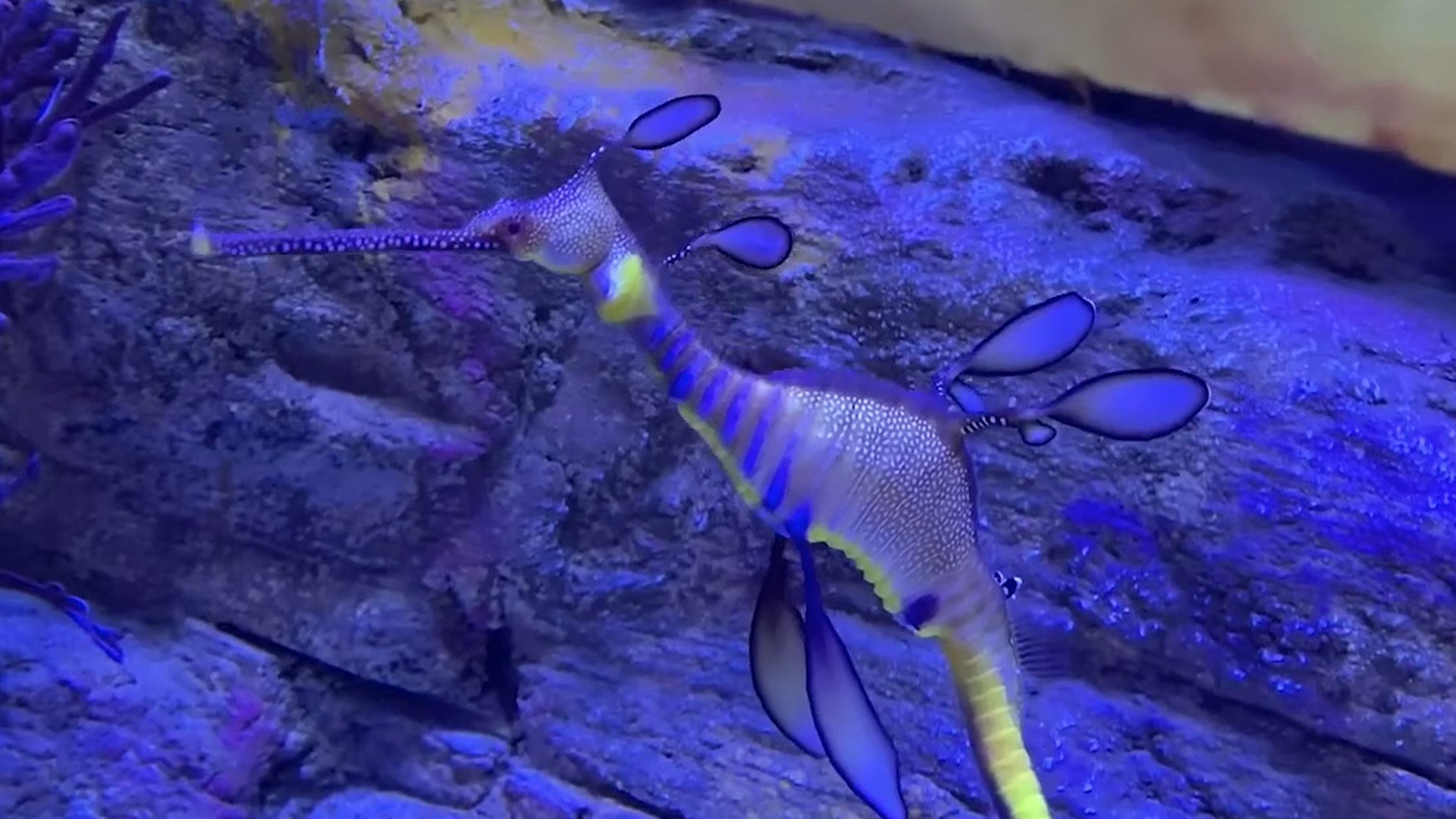 A weedy sea dragon is seen in a screenshot from a video shared by San Diego's Birch Aquarium at Scripps Institution of Oceanography on Feb. 13, 2020.