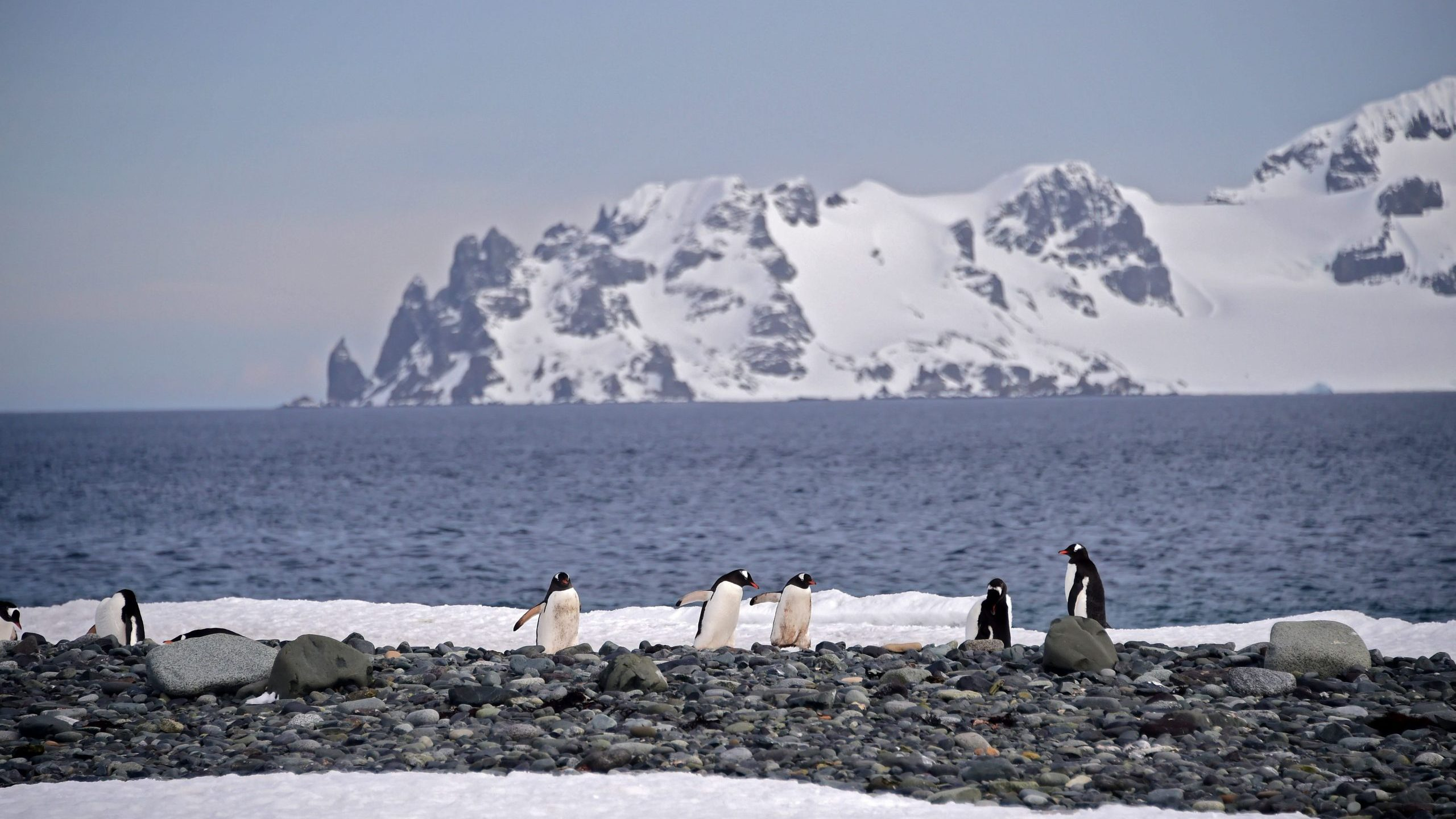Gentoo penguins are seen at the Yankee Harbour in the South Shetland Islands, Antarctica, on Nov. 6, 2019. (Credit: Johan Ordonez / AFP / Getty Images)