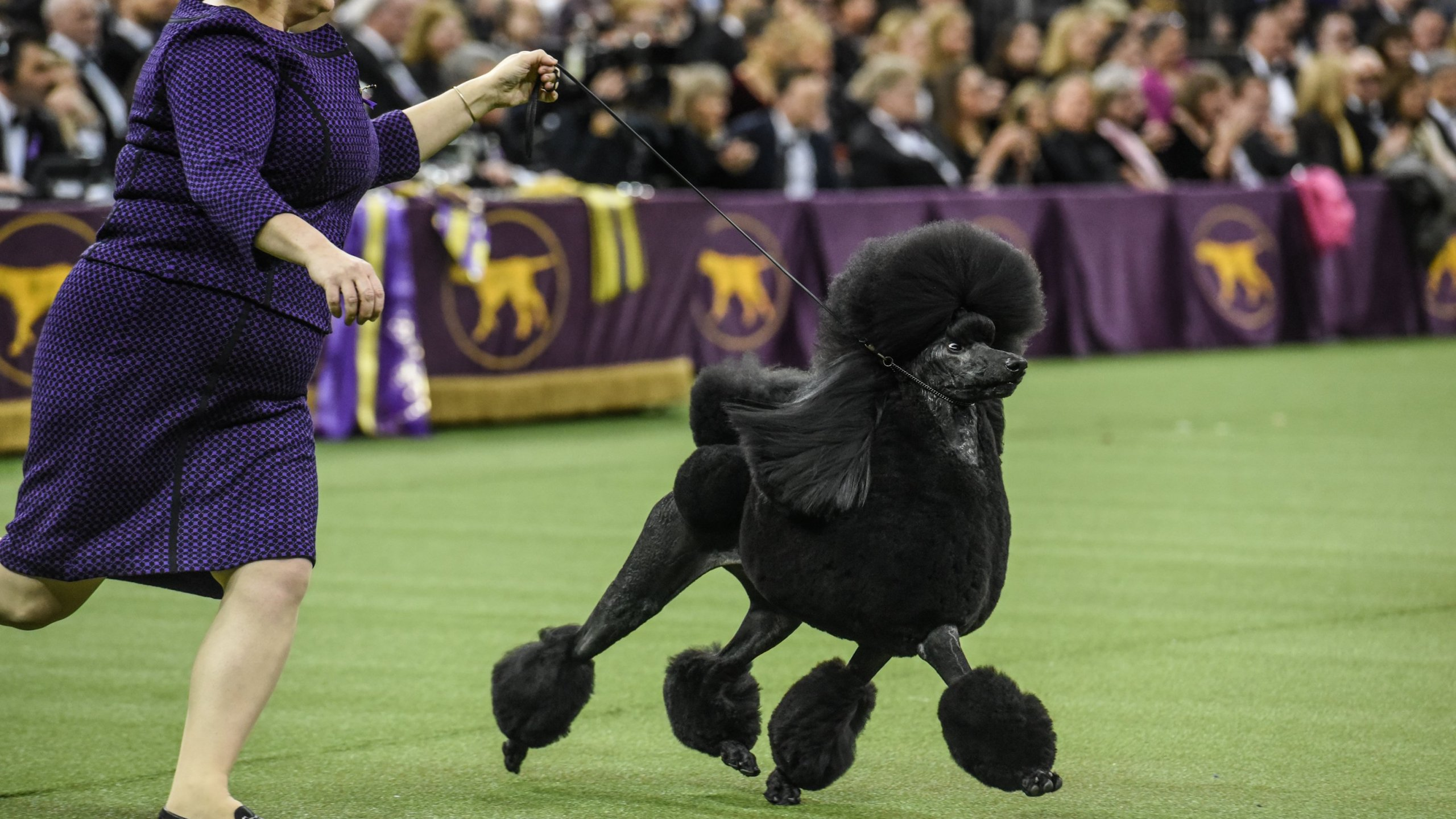 A Standard Poodle named Siba wins Best in Show during the annual Westminster Kennel Club dog show on Feb. 11, 2020 in New York City. (Credit: Stephanie Keith/Getty Images)