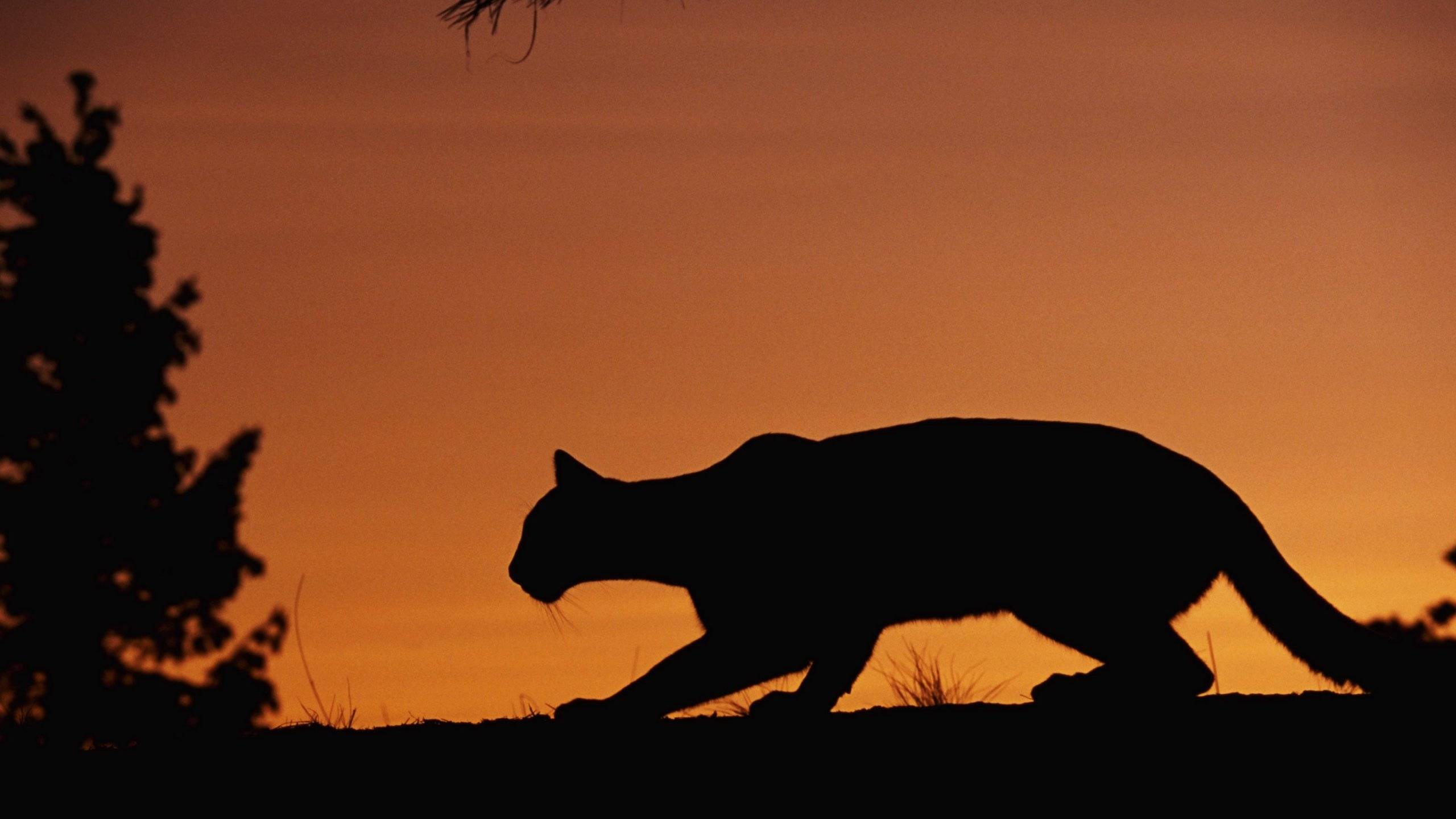 A mountain lion is seen in this undated file photo. (Credit: Getty Images)