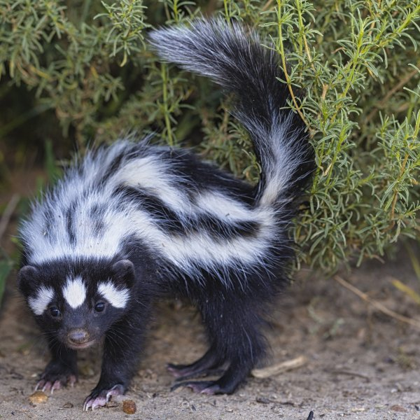 A skunk is seen in a file photo. (Credit: Getty Images)