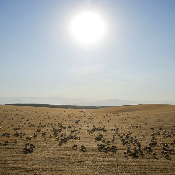 Sheep graze in a dry field near the town of McFarland in California's Central Valley on Aug. 24, 2016.(Credit: Robyn Beck/AFP via Getty Images)