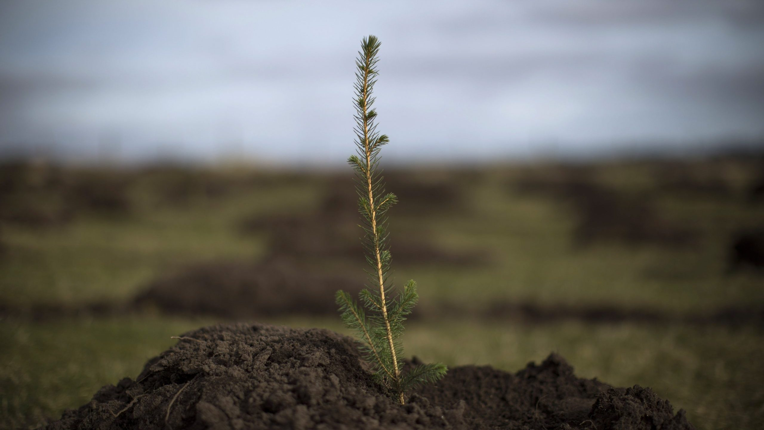 A spruce tree is planted north of Doddington, England, on March 22, 2018. (Credit: Dan Kitwood / Getty Images)