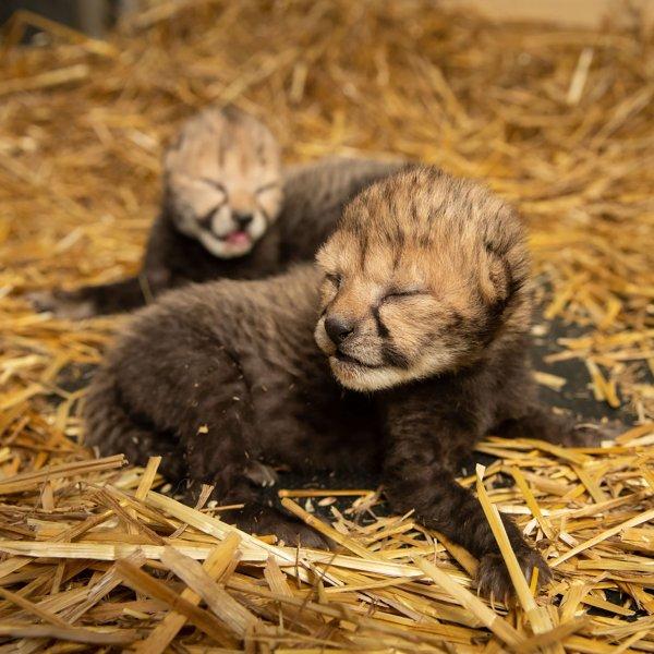 The cheetah cubs were born via IVF. (Credit: Grahm S. Jones/Columbus Zoo and Aquarium)