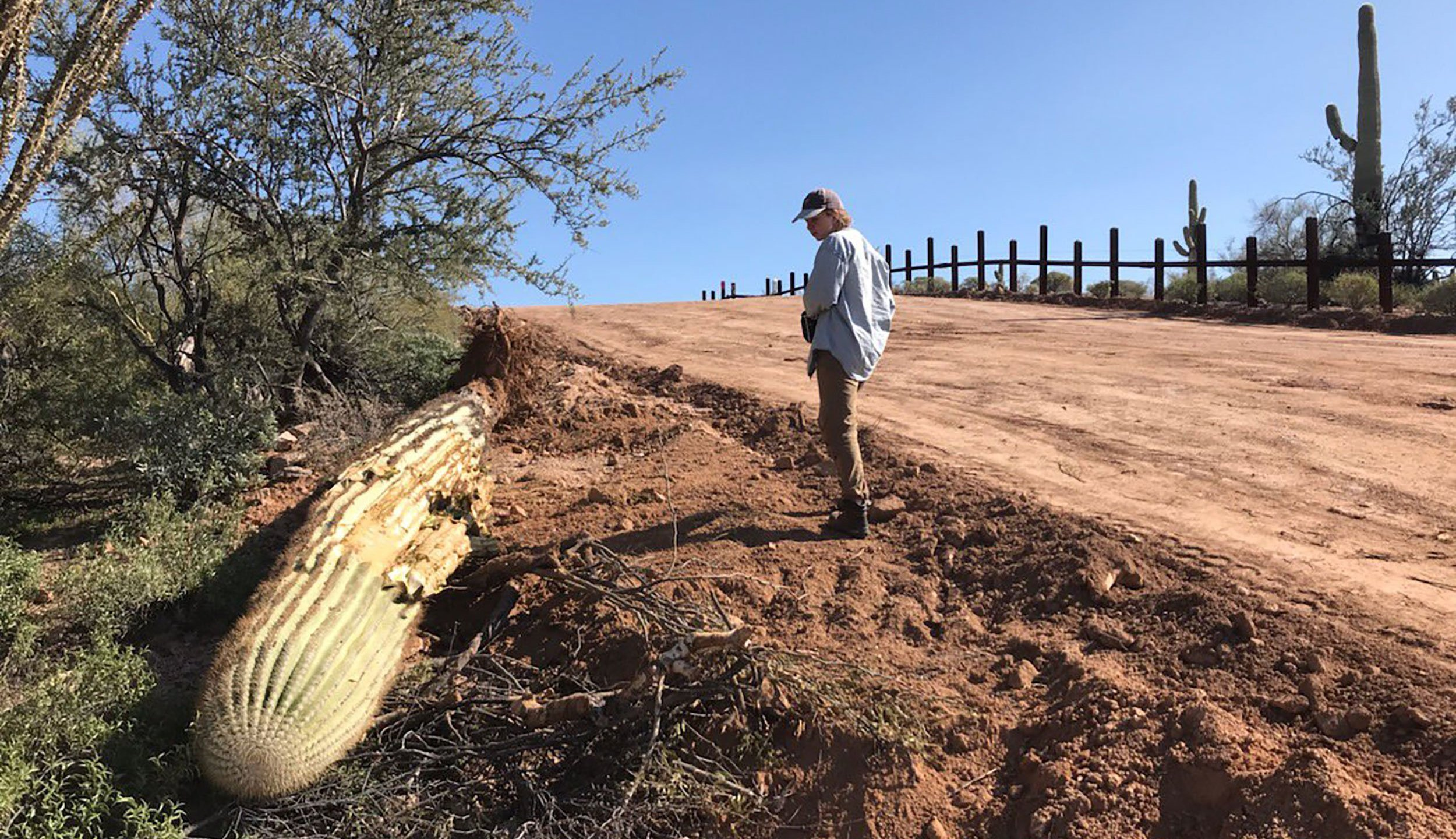A dead saguaro is seen amid border wall construction at Organ Pipe Cactus National Monument in this undated photo. (Credit: Laiken Jordahl / Center for Biological Diversity)
