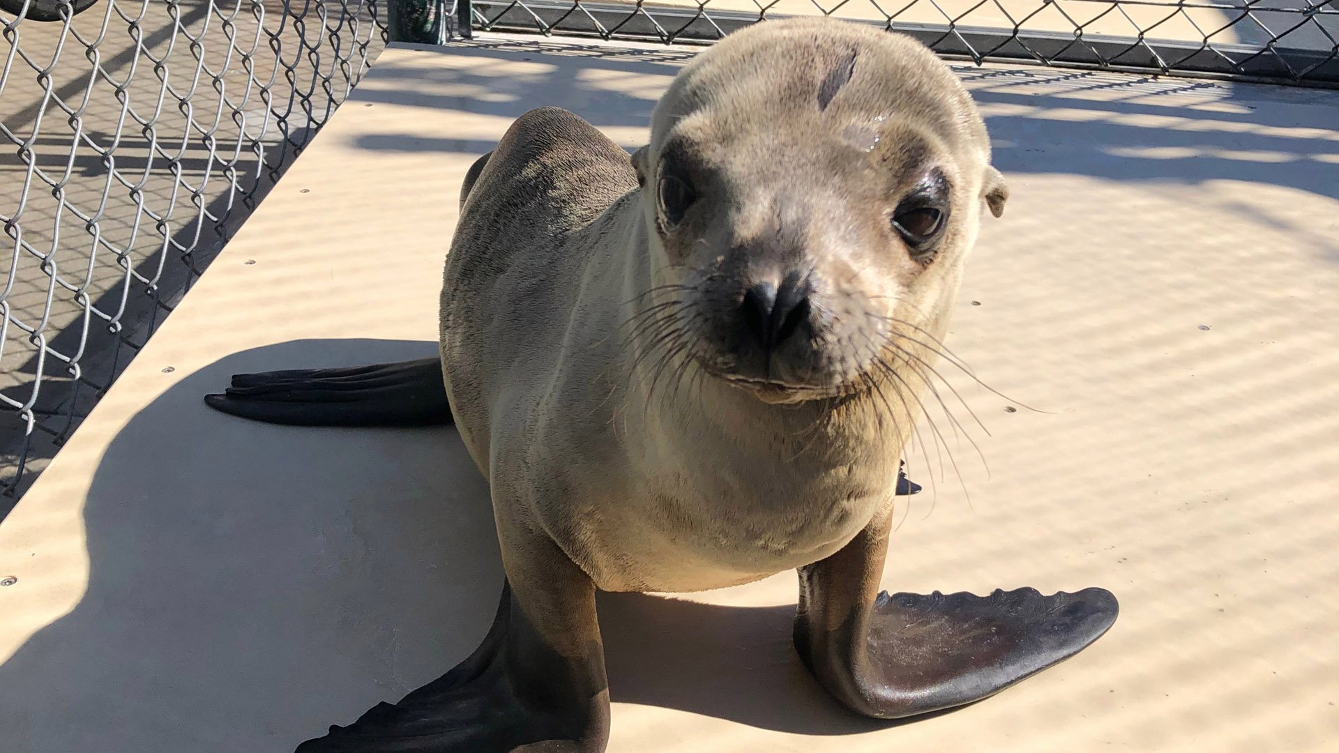 A sea lion pup recovers at the Marine Mammal Care Center in San Pedro after being rescued from the 710 Freeway in Long Beach. (Credit: Marine Mammal Care Center)