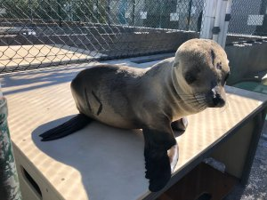 The approximately 8-month-old sea lion pup is seen at the Marine Mammal Care Center in this undated photo. (Credit: Marine Mammal Care Center)