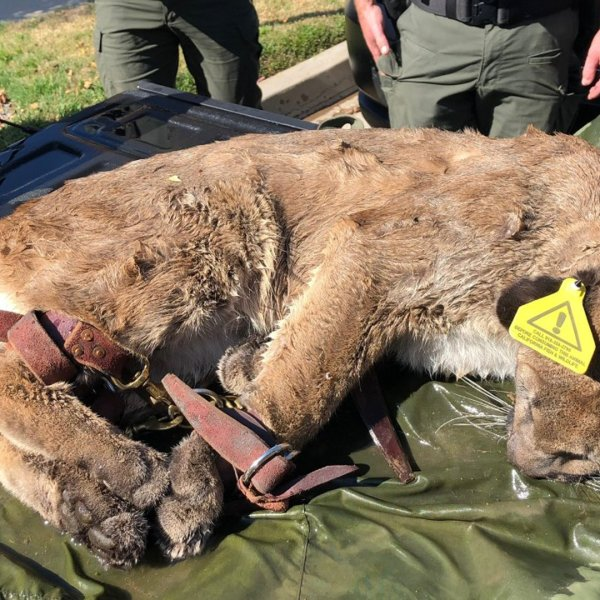Authorities captured, tranquilized and moved a mountain lion in Simi Valley on Feb. 8, 2020. (Credit: California Department of Fish and Wildlife)