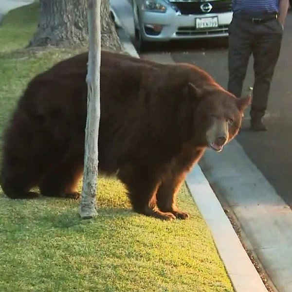 A bear in Monrovia walks near our news van on Feb. 21, 2020. (Credit: KTLA)