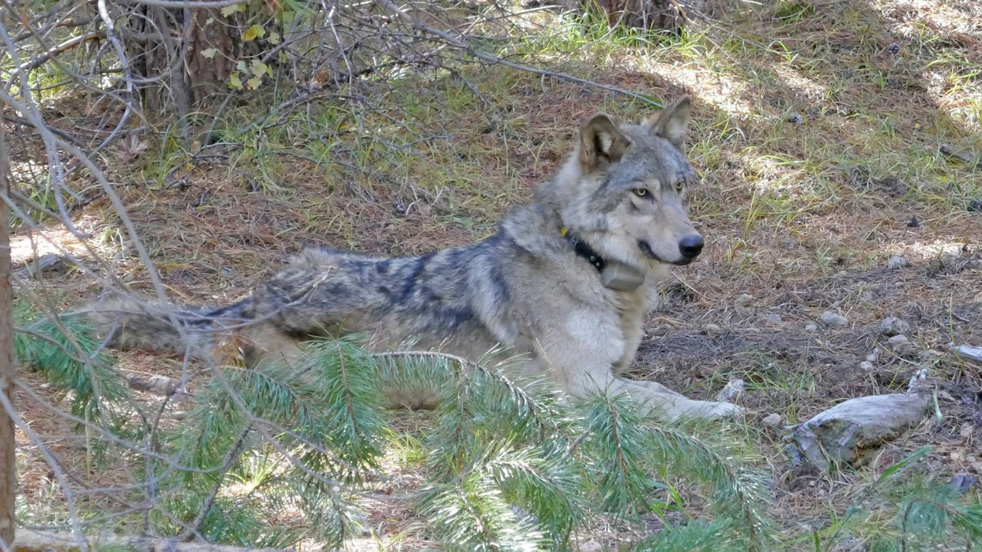 OR-54 is seen in a photo released by the Oregon Department of Fish and Wildlife on Oct. 13, 2017, shortly after she was collared.