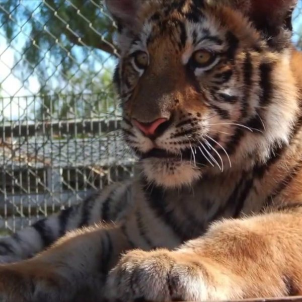 Neil, a bengal tiger, is seen on Feb. 12, 2020 at Moorpark College. (Credit: KTLA)