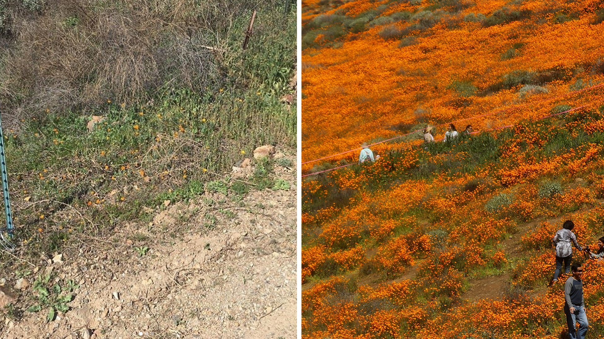 On the left, some poppies are seen in the Walker Canyon area in Feb. 2020, in a photo shared by the City of Lake Elsinore. ⁠On the right, the 'super bloom' of wild poppies blankets the hills of Walker Canyon on March 12, 2019, near Lake Elsinore, California. (Credit: Mario Tama/Getty Images)