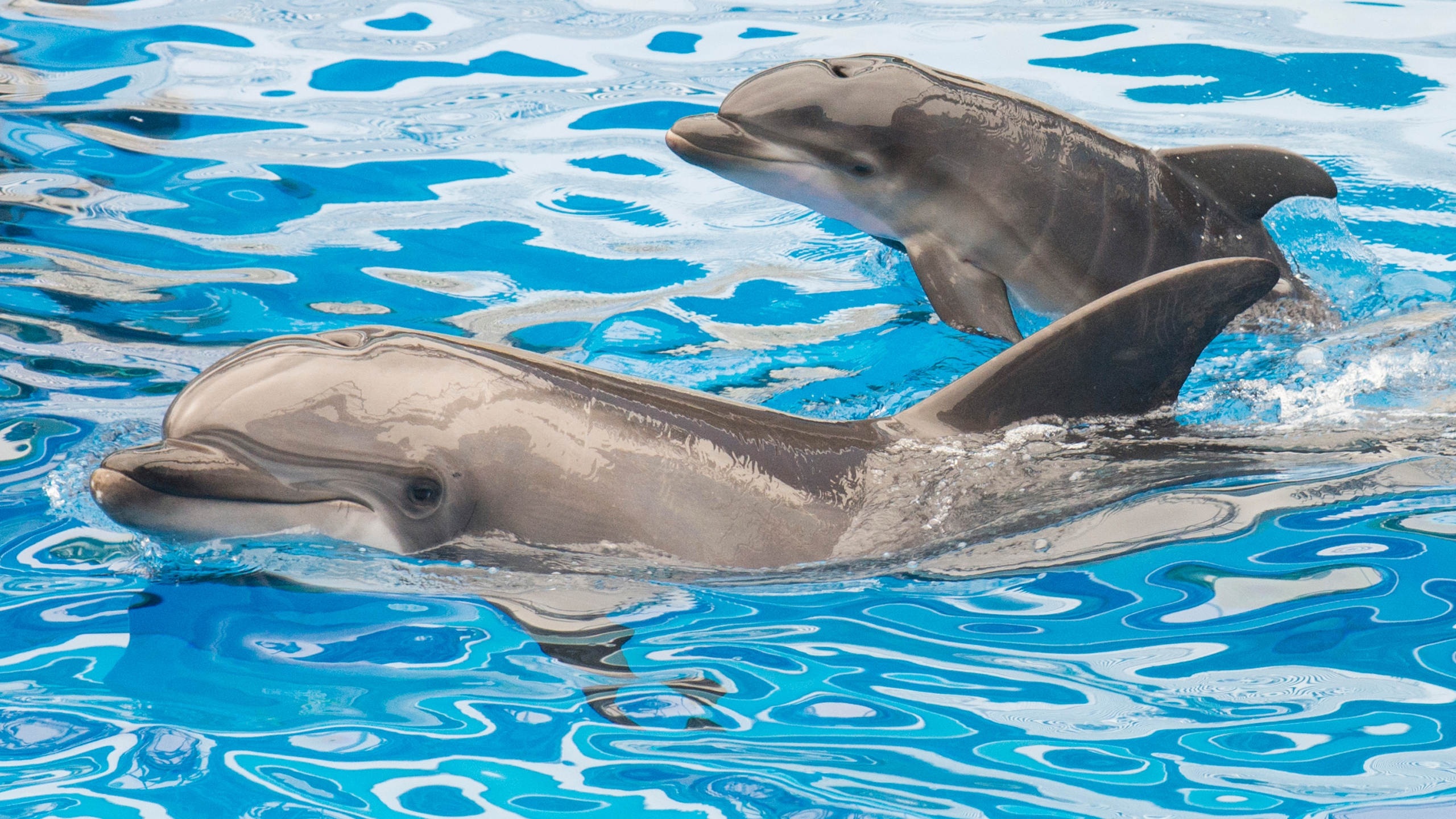 Sadie, a 13-year-old bottlenose dolphin at SeaWorld San Diego, swims with her newborn calf at the marine park's Dolphin Stadium Oct. 20, 2014, in San Diego. (Mike Aguilera/SeaWorld San Diego via Getty Images)