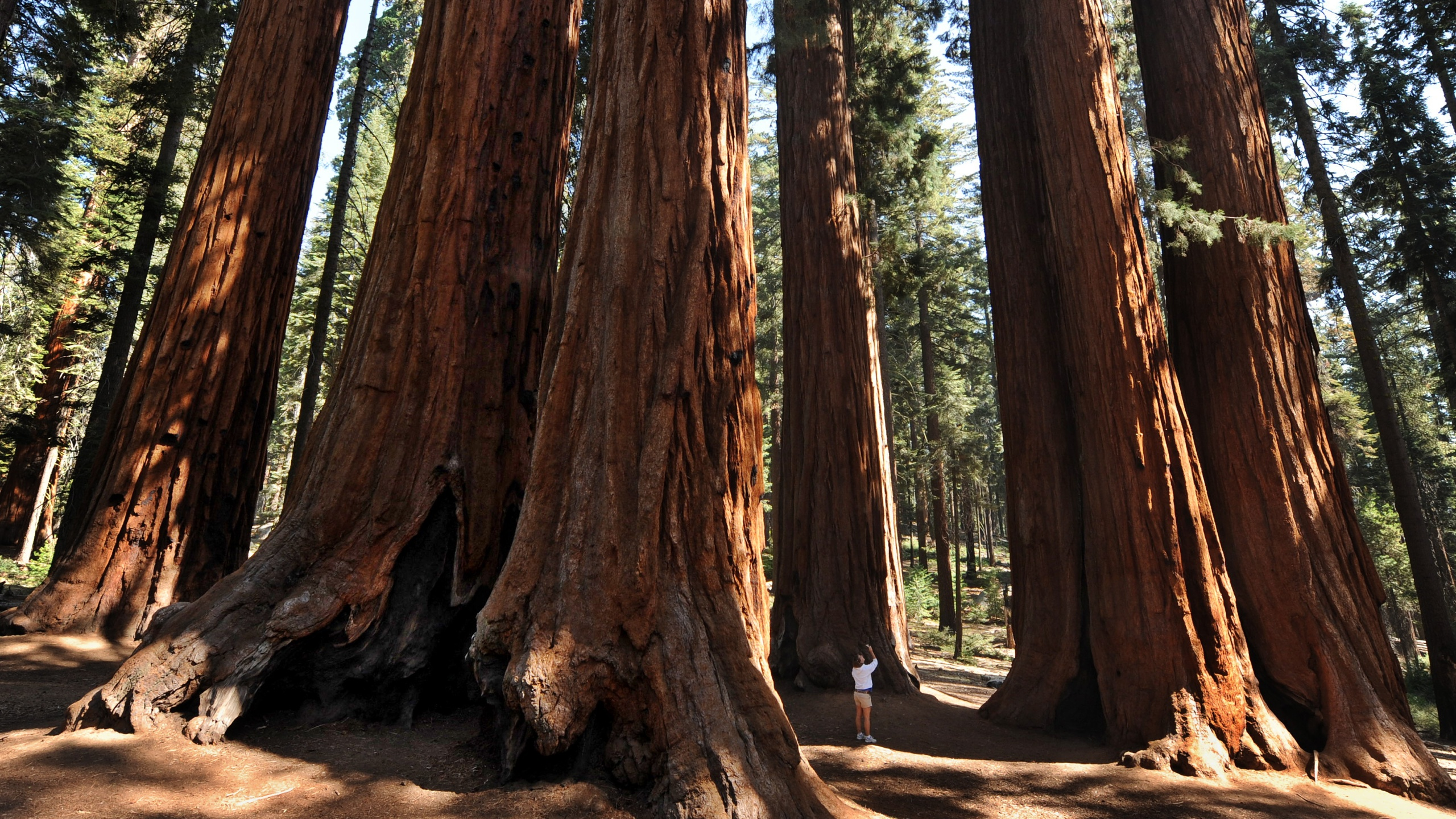 A woman stands amongst a grove of giant Sequoia trees at Sequoia National Park in Central California on October 11, 2009. (Mark Ralston/AFP via Getty Images)