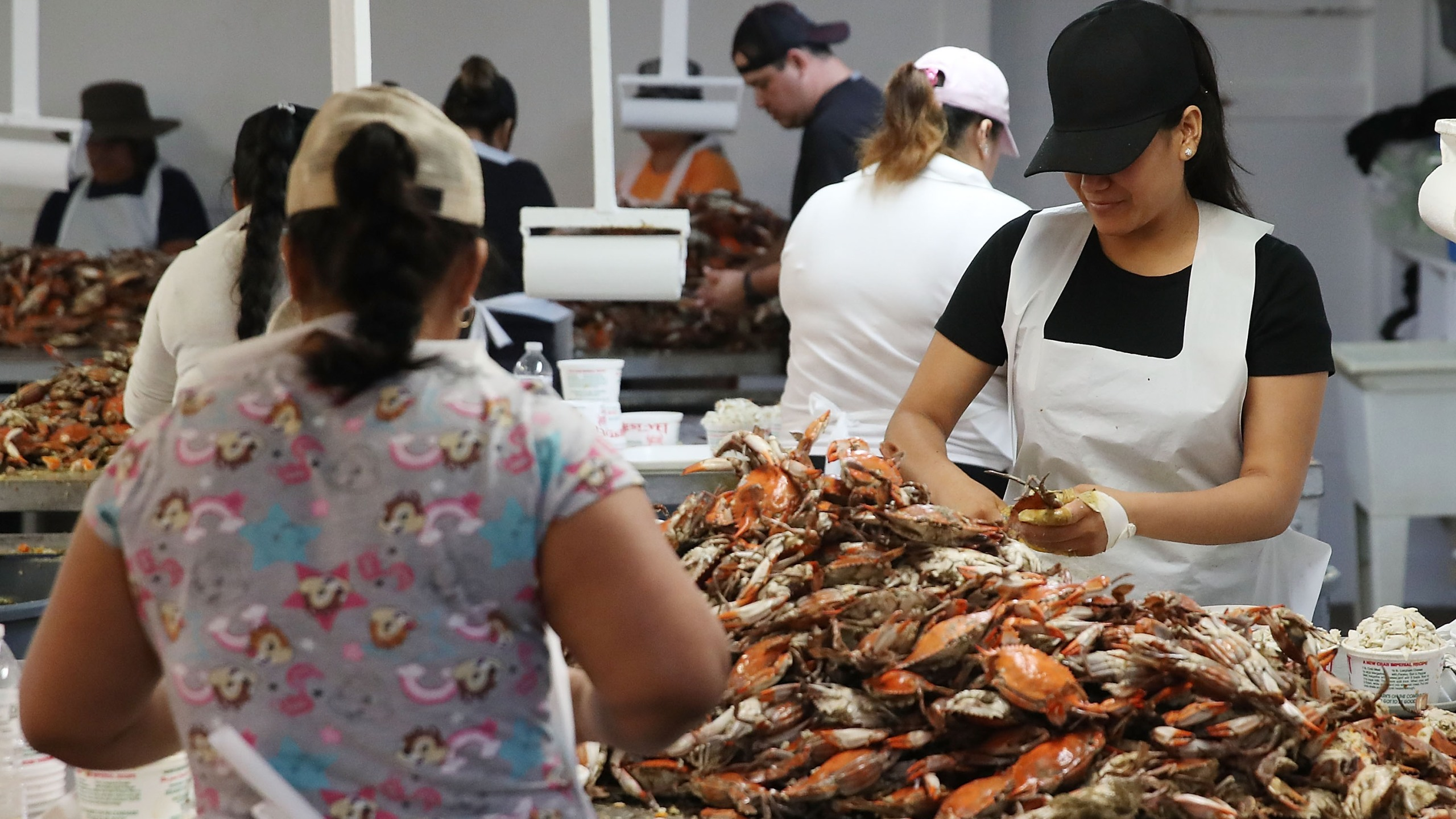 Women pick crabs at the W.T. Ruark Seafood Co., on May 17, 2018 in Hoopers Island, Maryland. Due to a new lottery system in 2018, several seafood companies failed to get temporary H-2B visas for their mostly Mexican workforce that has been coming to the Maryland eastern shore for over two decades to pick the crab meat that is sold in restaurants and stores on the east coast. (Mark Wilson/Getty Images)