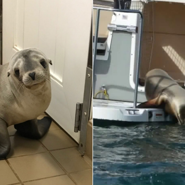 Lords-a-Leaping is seen in images from the Pacific Marine Mammal Center.