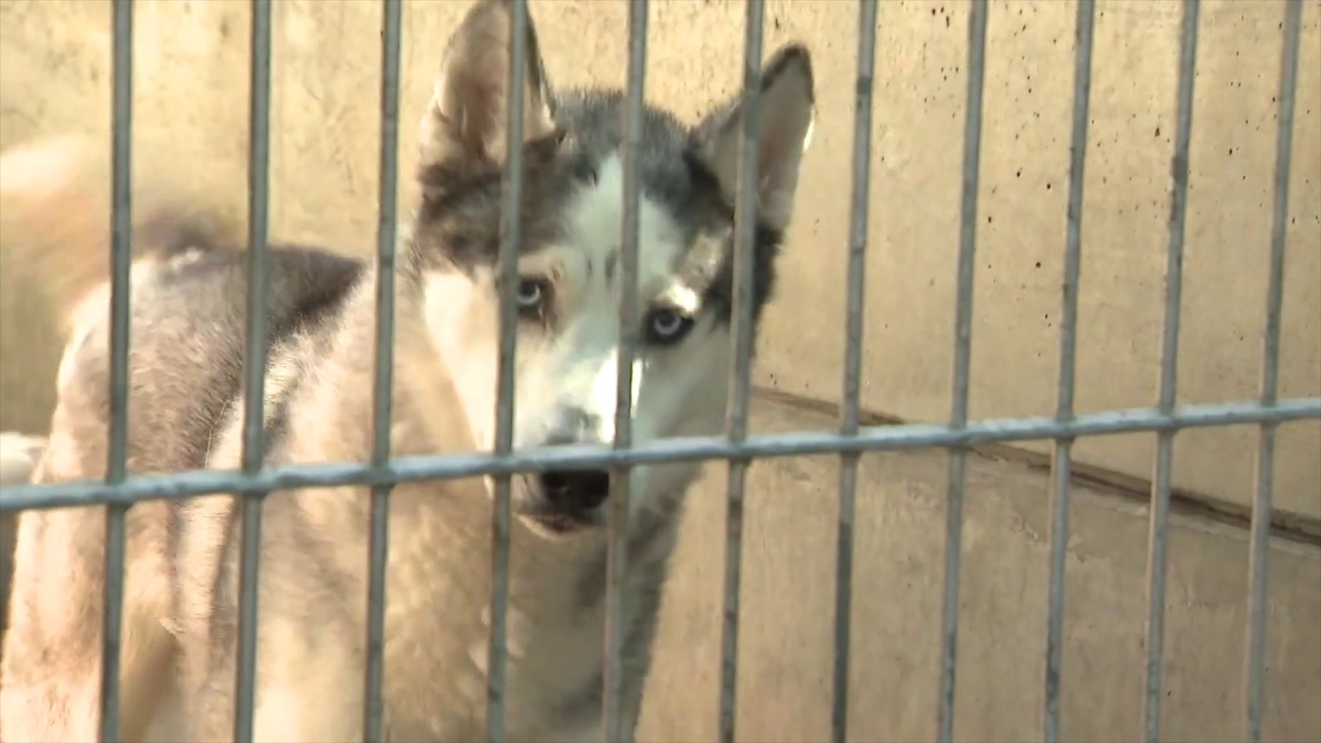 A dog is seen at an L.A. County animal shelter on March 25, 2020, waiting to get adopted. (KTLA)