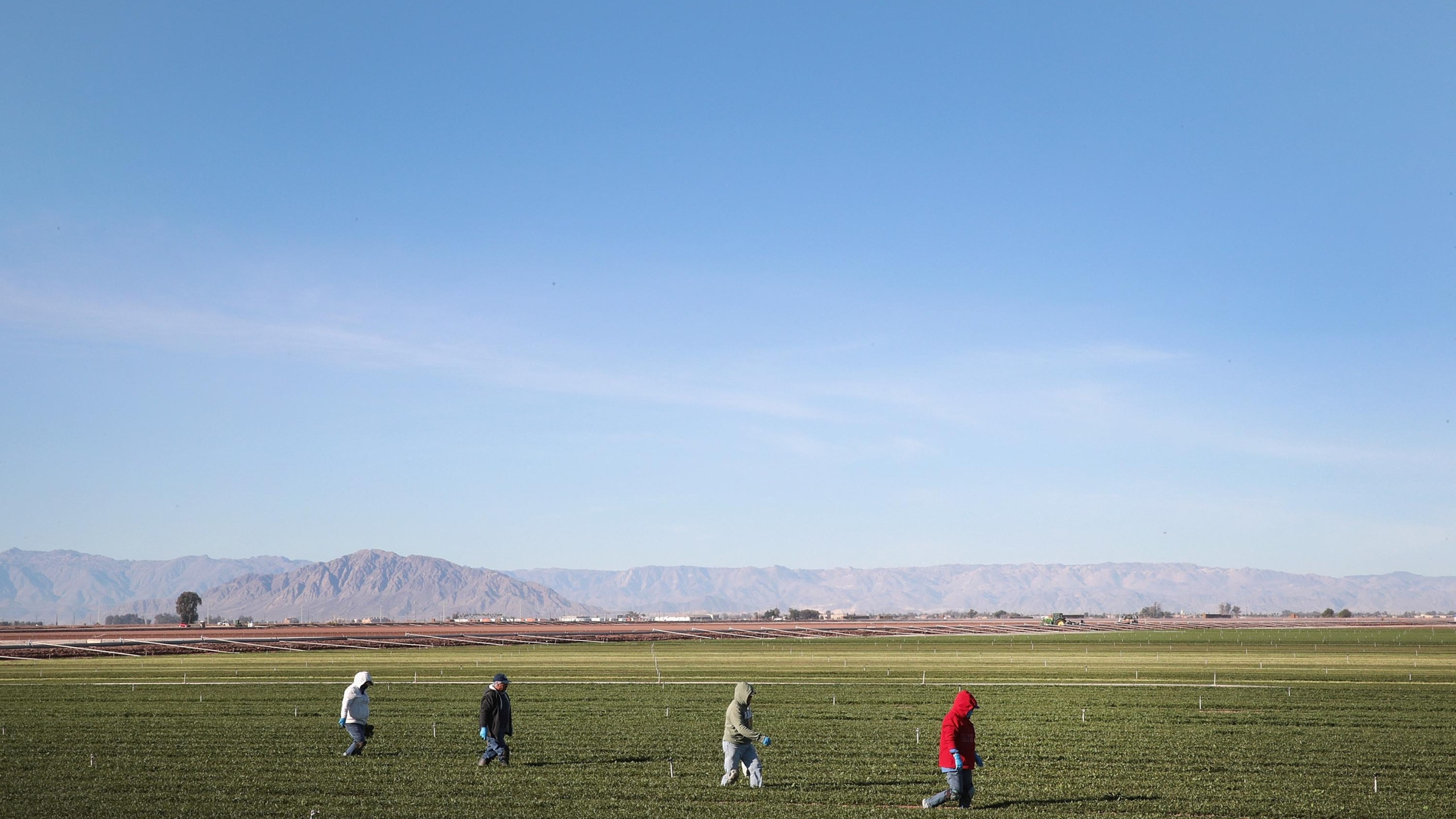 Farmworkers pull weeds in a field of spinach growing near the U.S.-Mexico border on Jan. 25, 2019 near El Centro, California. (Scott Olson/Getty Images)