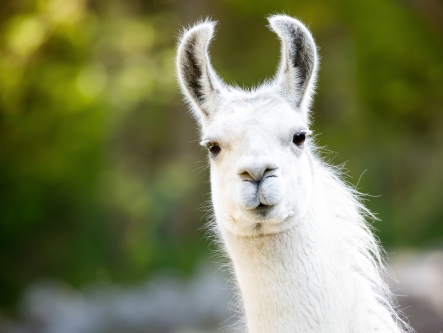 CA animal sanctuary letting people invite llamas, goats or cows to do cameo  appearances on video calls | KTLA
