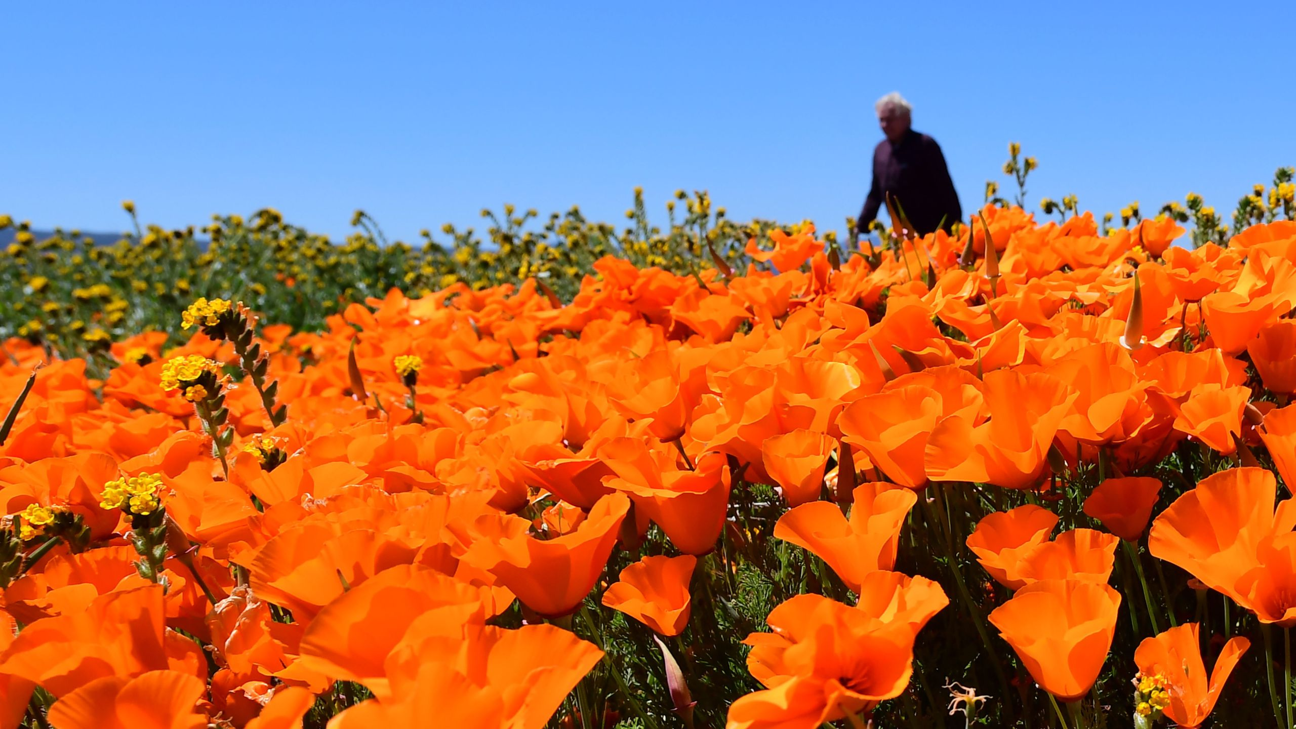 People visit poppy fields near the Antelope Valley California Poppy Reserve on April 16, 2020 in Lancaster, California where the annual spring bloom is underway. (FREDERIC J. BROWN/AFP via Getty Images)