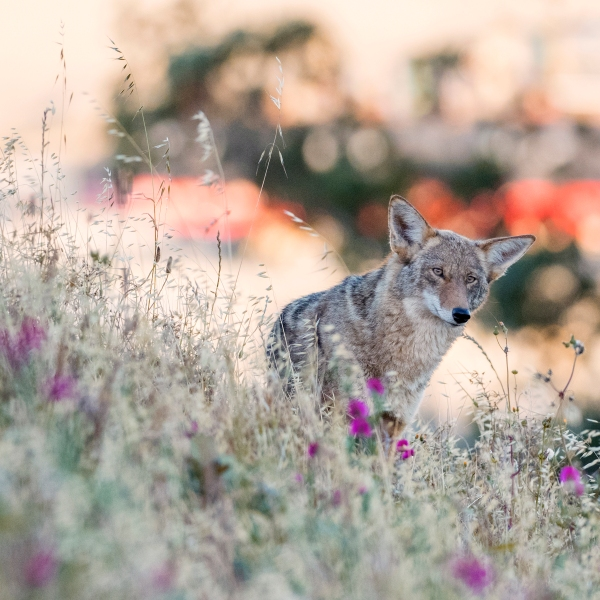 This file photo shows a coyote in Bernal Heights, San Francisco. (Getty Images)
