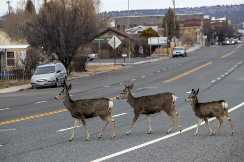 Deer cross Main Street in Alturas, in California's Modoc County, in December 2019. The county was the first in California to reopen in violation of a statewide order. (Brian van der Brug / Los Angeles Times)