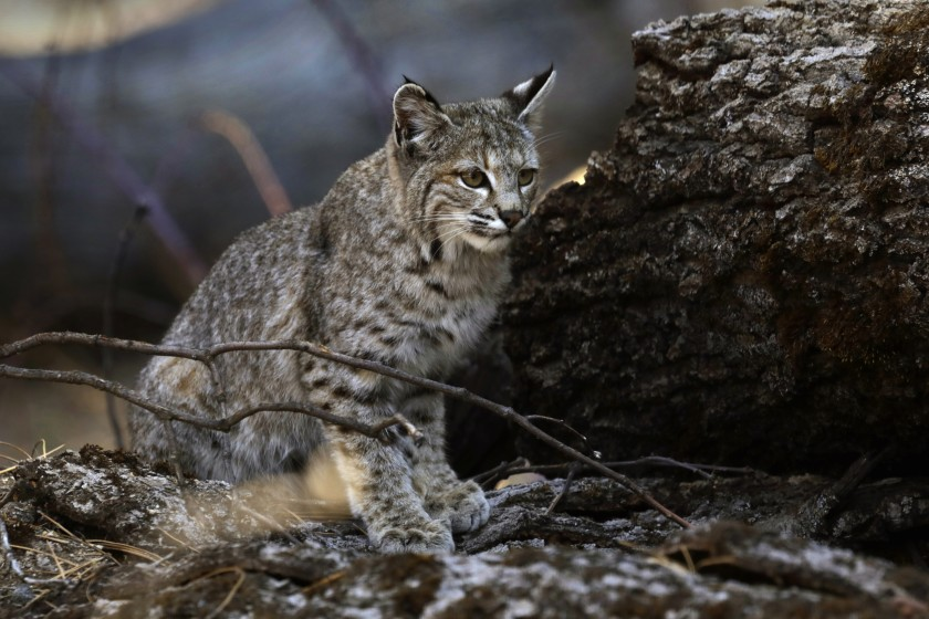A young bobcat hunts for a meal in Yosemite Valley.(Carolyn Cole / Los Angeles Times)